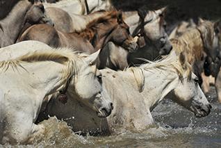 chevaux camarguais création de site internet Sommières